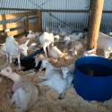 We clean out goat or calf sheds